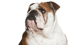 dueños-bulldog-ingles