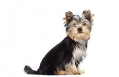 yorkshire-perro-alegre