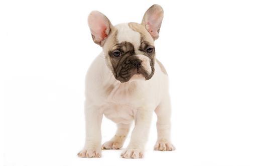 Dueños-perro-bulldog-frances