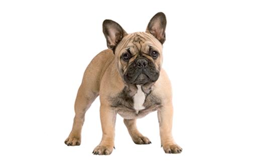 Curiosidades sobre el Bulldog Francés
