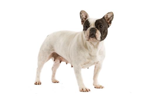 Curiosidades sobre el Bulldog Francés 2