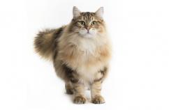 Higiene dental para gatos 3